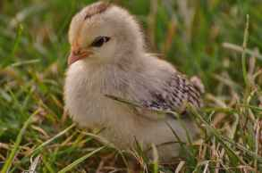 chicks-chicken-small-poultry-162250.jpeg